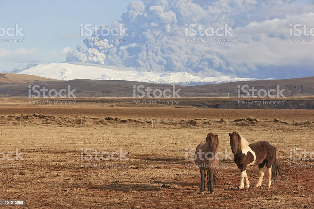 Icelandic Pony Mt. Eyjafjallajokull Volcano Eruption in background stock photo