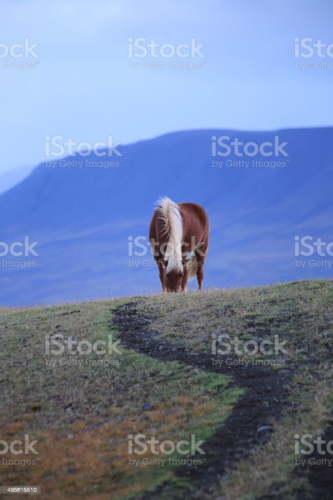 Icelandic Pony with Trail Blue Mountains in Varmahlíð, Iceland stock photo