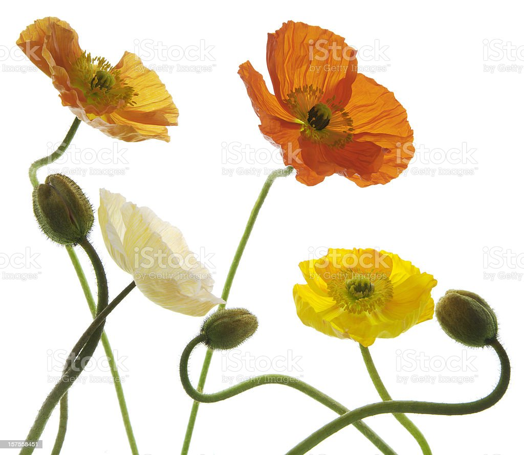 Icelandic poppy arrangement. royalty-free stock photo