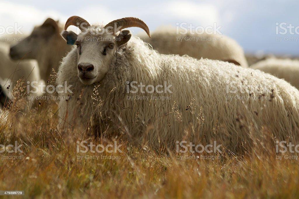 Icelandic ram sitting in yellow grass stock photo