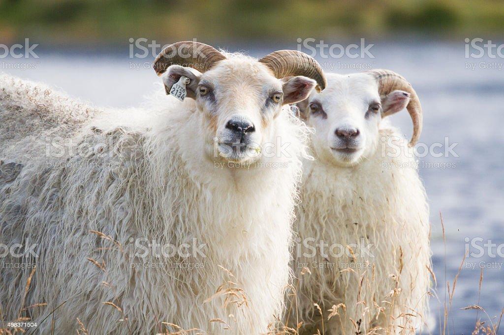 Icelandic Rams stock photo
