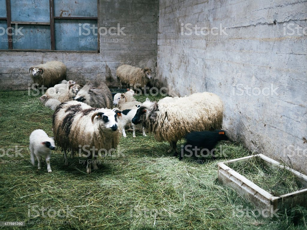 Icelandic sheep, ewes and lambs in a barn, North-East Iceland stock photo