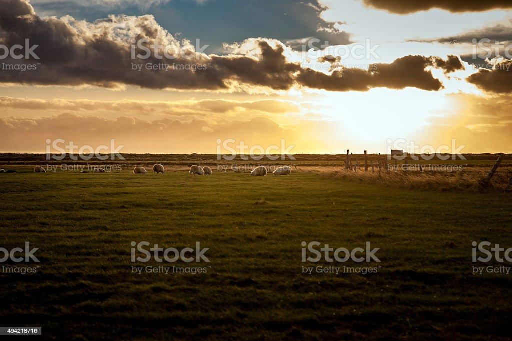 Icelandic sheep feeding on plain at sunset stock photo