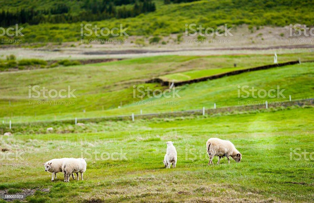 icelandic sheep, iceland stock photo