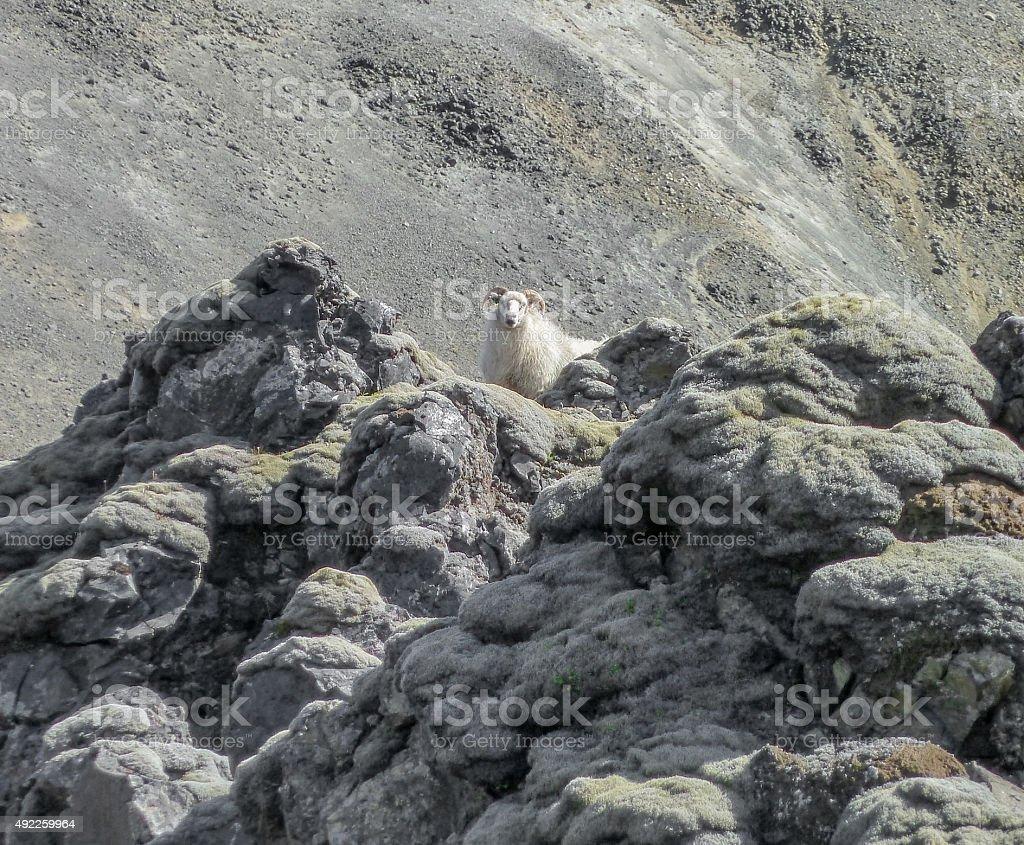 Icelandic sheep in Iceland stock photo