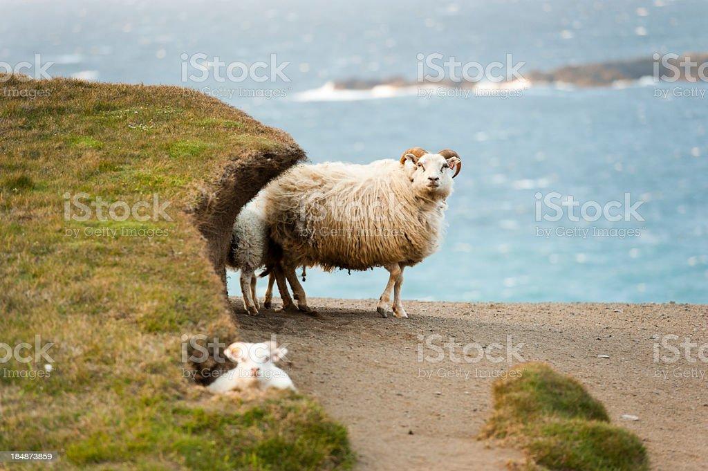icelandic sheep stock photo