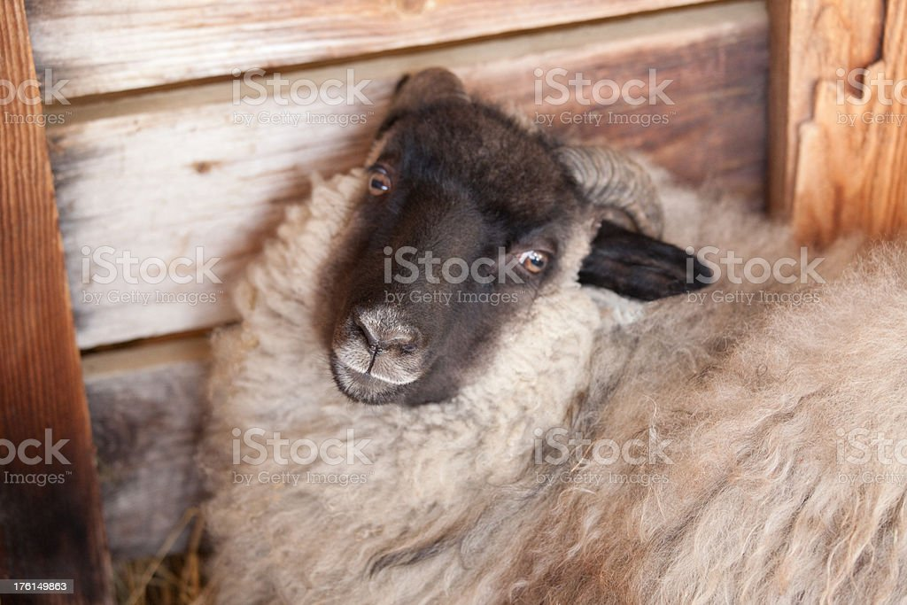 Icelandic sheep resting stock photo