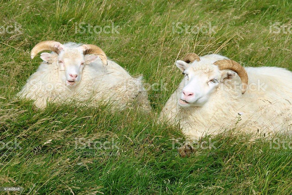 Icelandic sheep ruminating stock photo