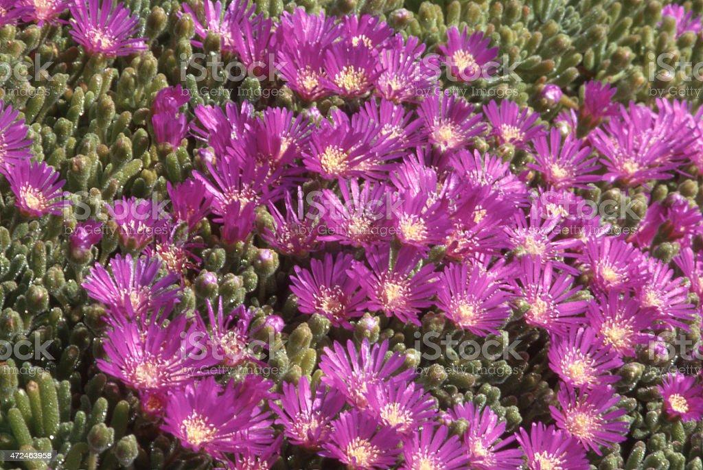 Iceplant Flowers in Spring Mentone California stock photo