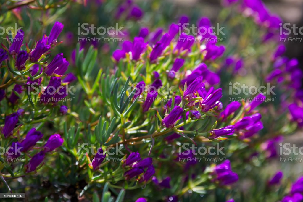 Ice-plant (Lampranthus multiradiatus) plant stock photo