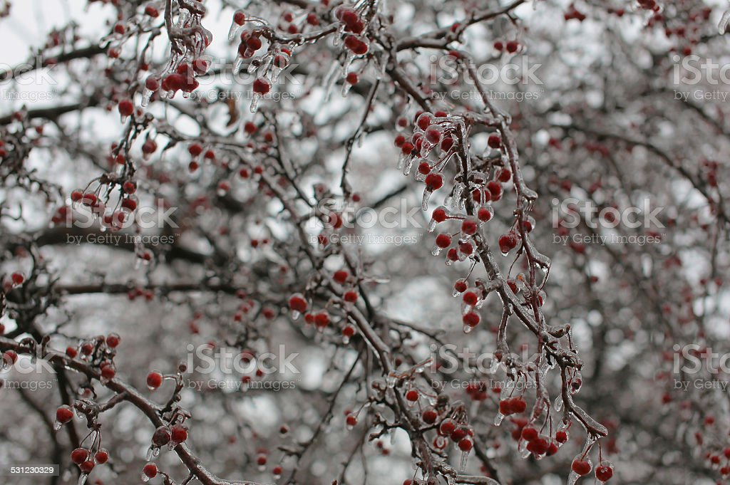 Icestorm berries stock photo