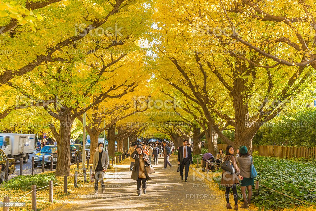Icho Namiki Street in autumn stock photo
