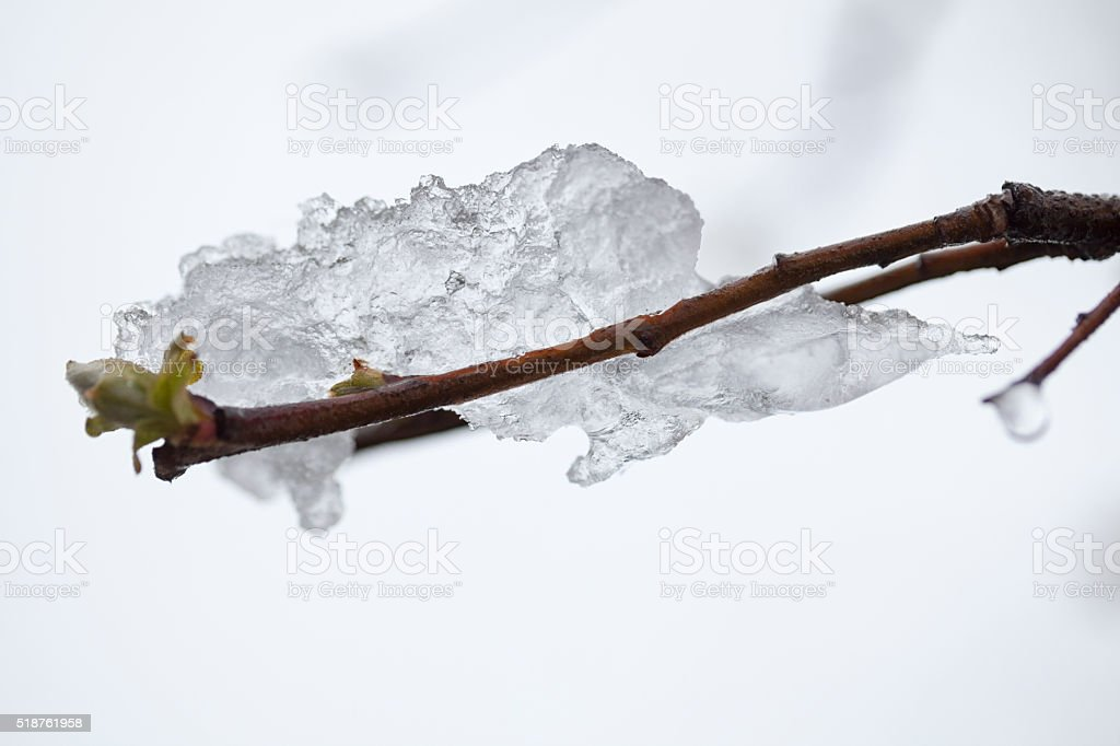 Icicle on buds stock photo