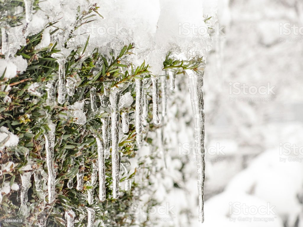 Icicle on the hedge stock photo