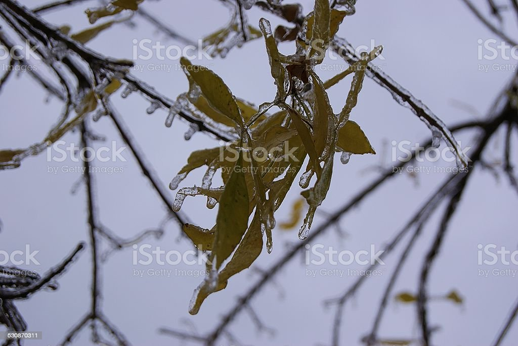Icicled Leaves royalty-free stock photo
