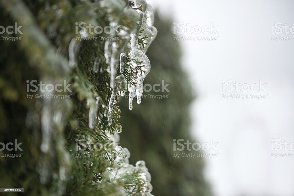 Icicles hanging from Cedar Trees stock photo