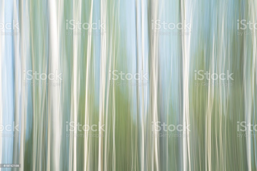 ICM-Birch wood stock photo