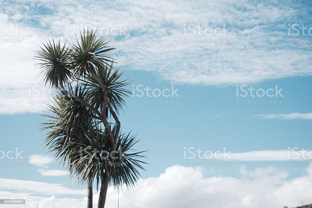 Iconic Ti Kouka (New Zealand Cabbage Tree) stock photo