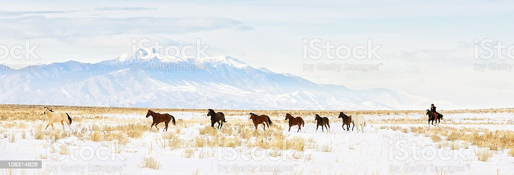 Iconic Wild  Horse Roundup In The Snowy  Winter Months stock photo