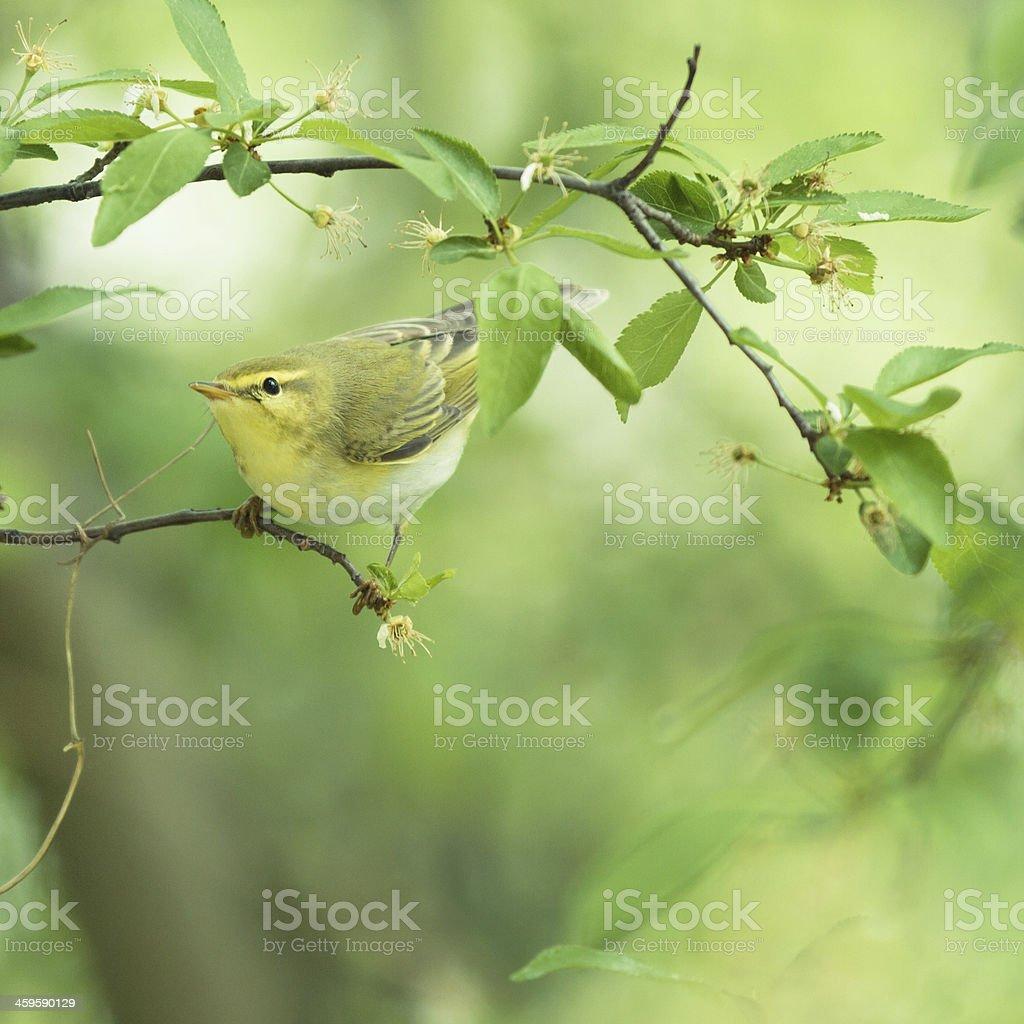 Icterine Warbler sitting on the tree stock photo