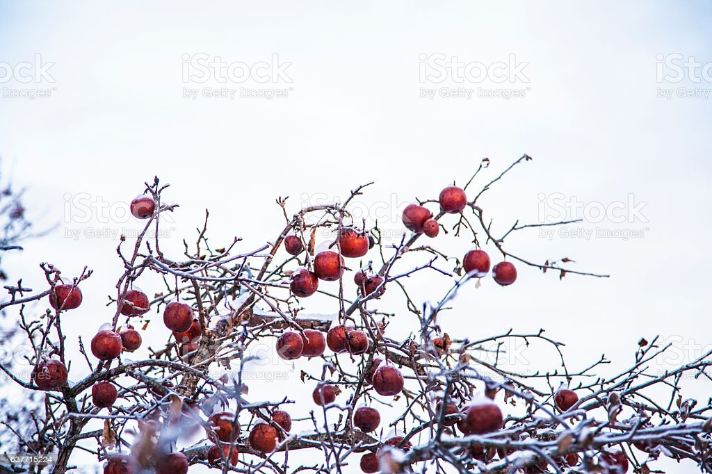 icy crabapples stock photo