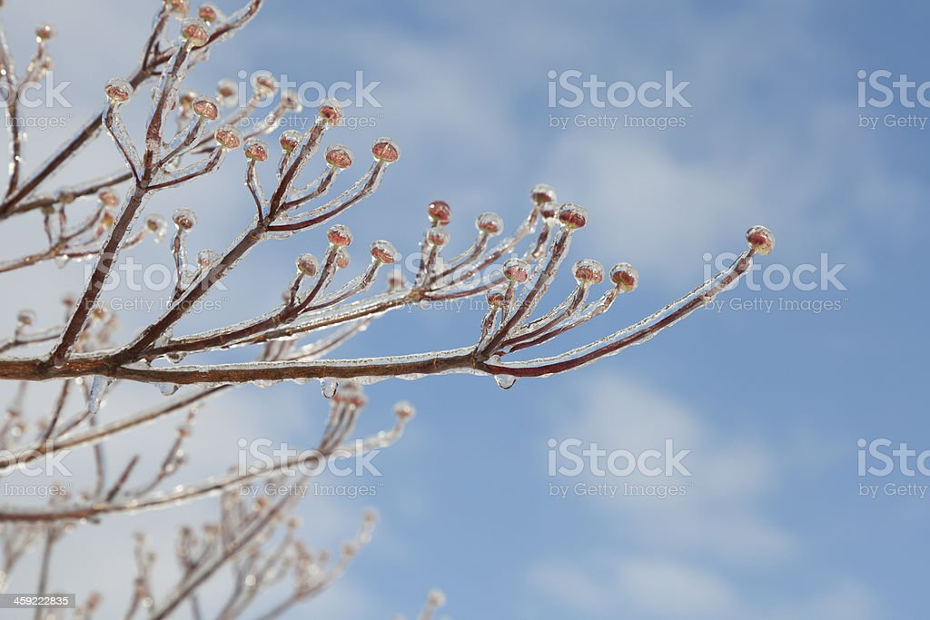 Icy Dogwood Tree Branches stock photo