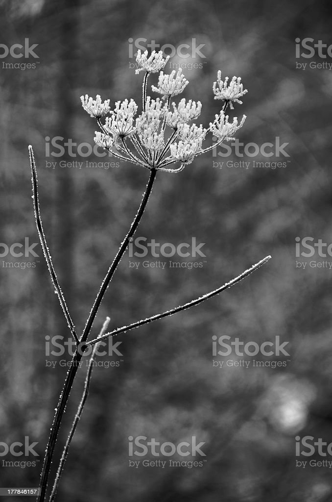 Icy Flower (Black and White) royalty-free stock photo