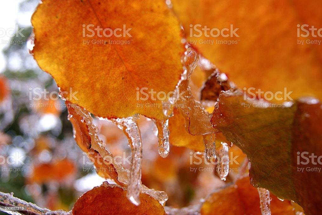 Icy Leaves royalty-free stock photo