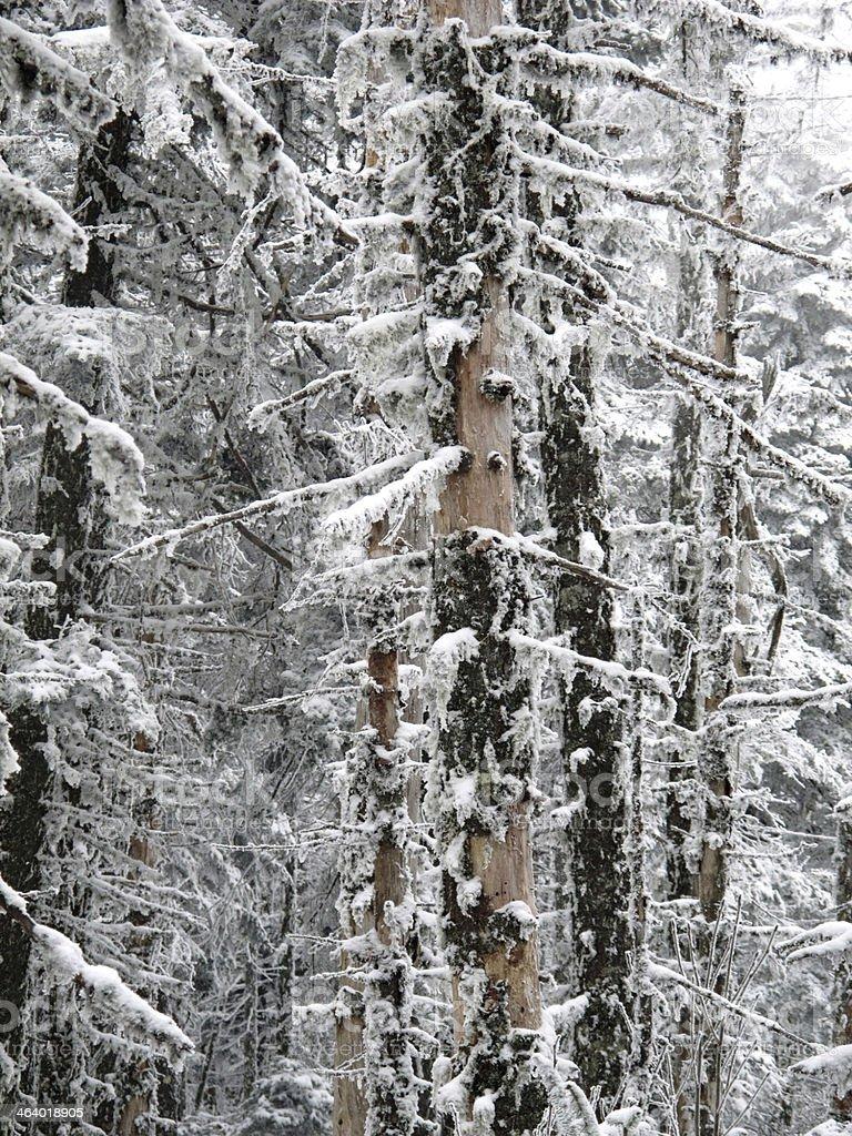 Icy Moss on Alpine Trees stock photo