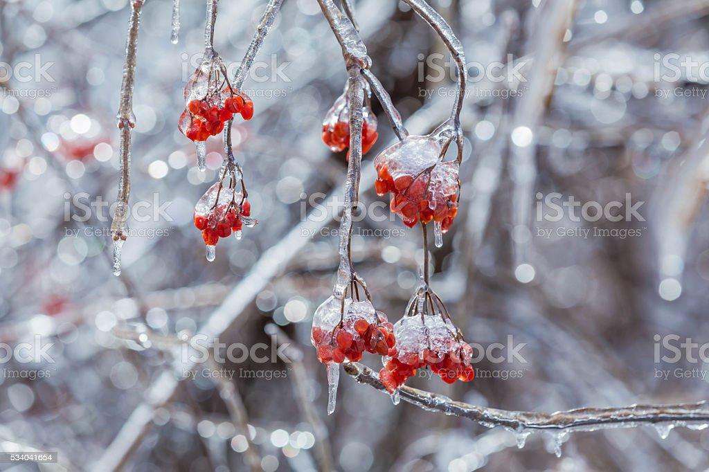 Icy Nanking cherry tree stock photo