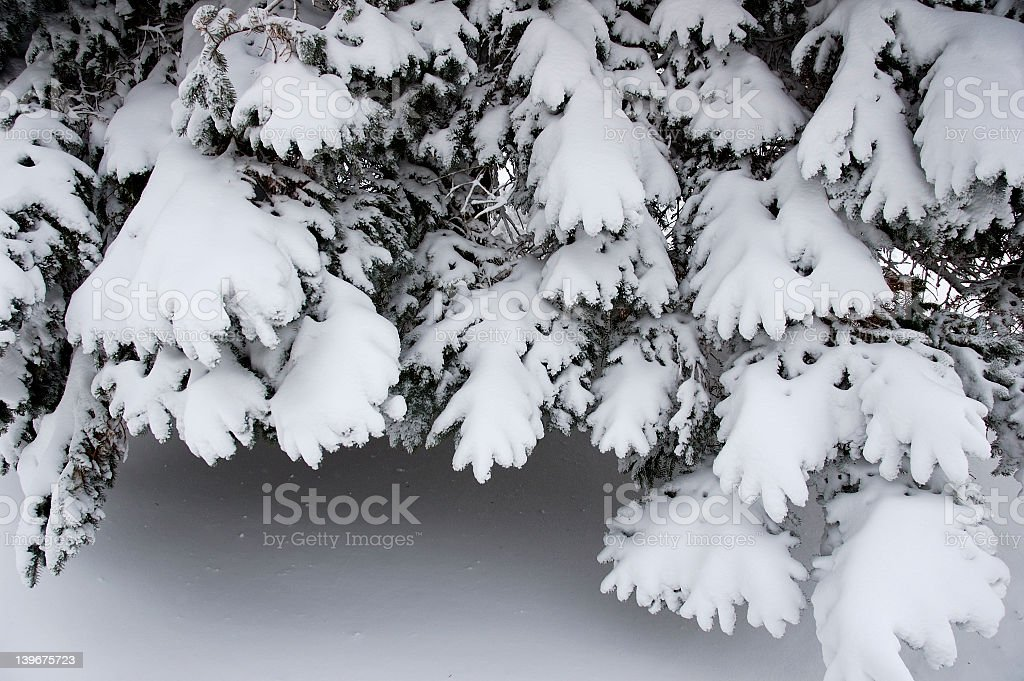 Icy Pine royalty-free stock photo