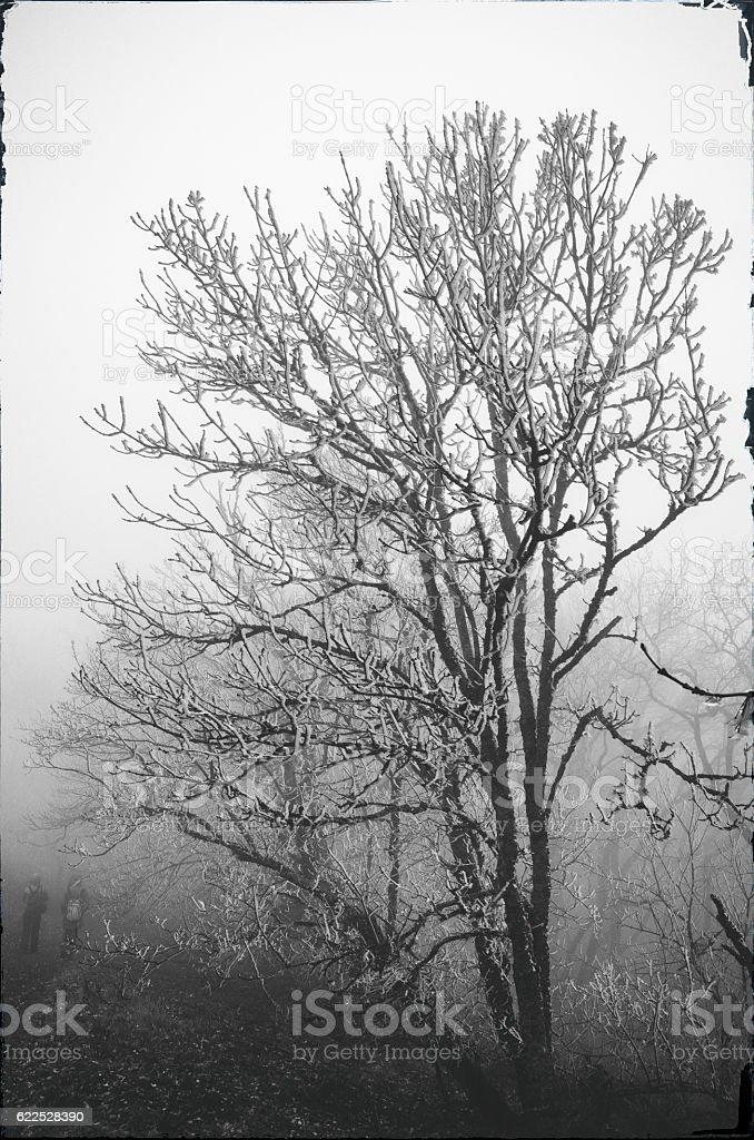Icy tree in fog stock photo