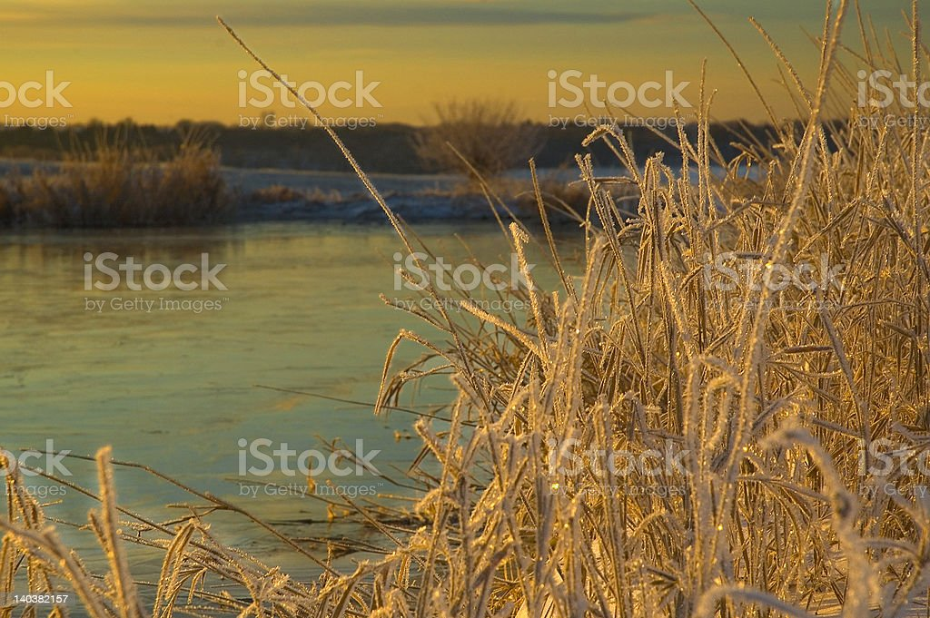 Icy Weeds royalty-free stock photo