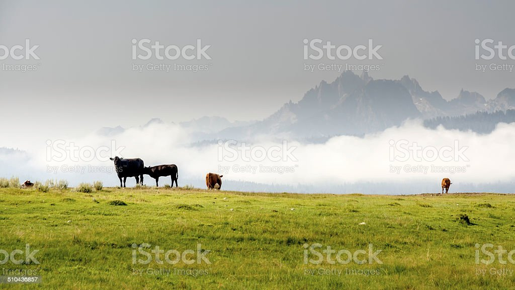 Idaho mountains and cows grazing in a field stock photo