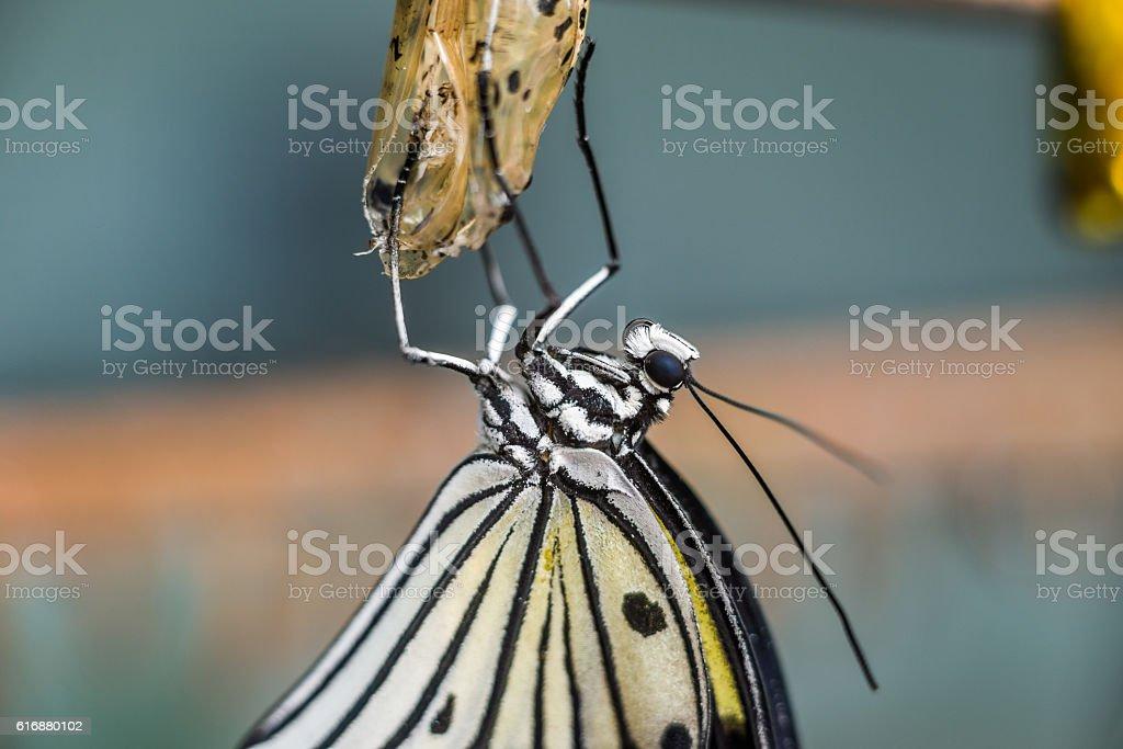 idea leuconoe butterfly being born stock photo