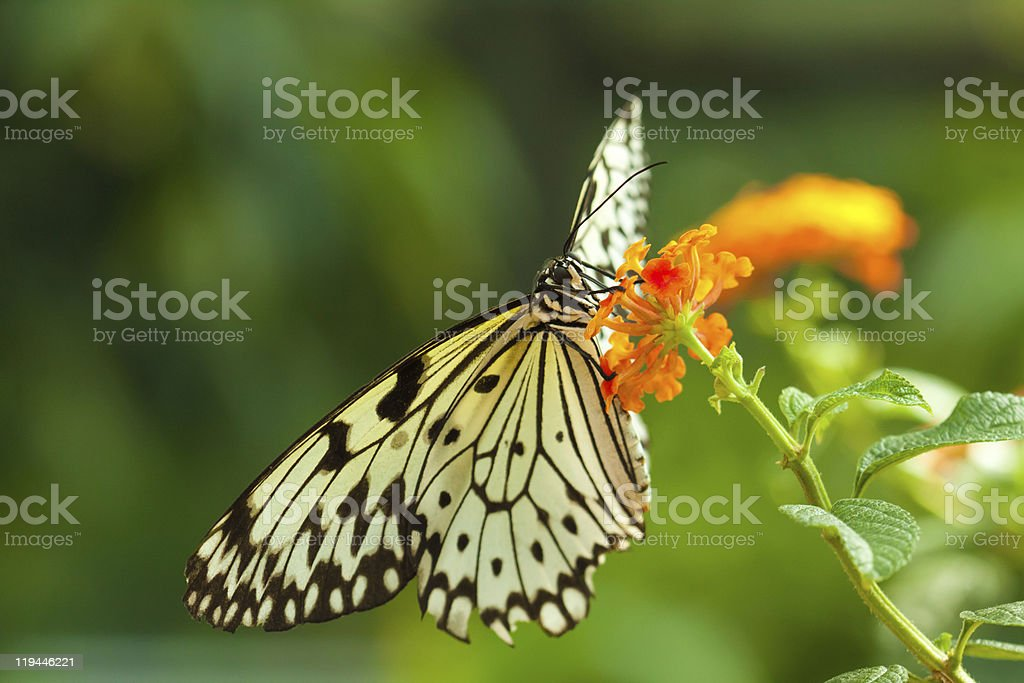 Idea Leuconoe butterfly royalty-free stock photo