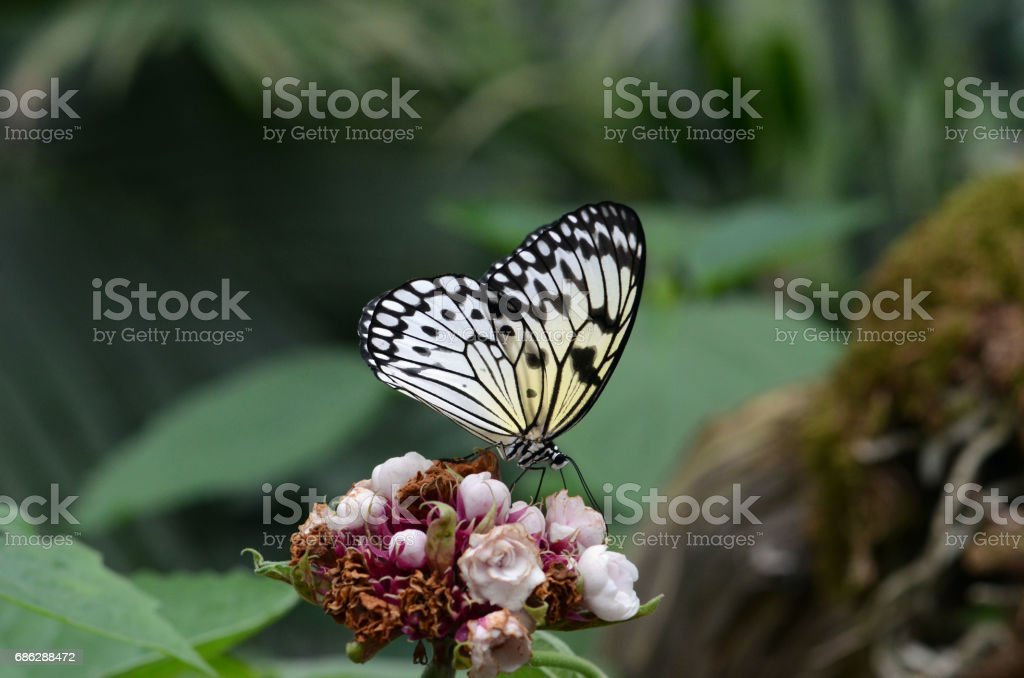 Idea leuconoe butterfly. stock photo
