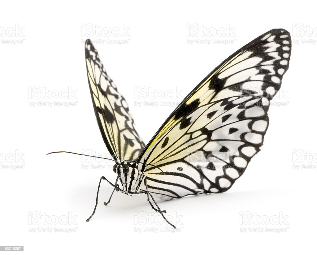 Idea leuconoe butterfly stock photo