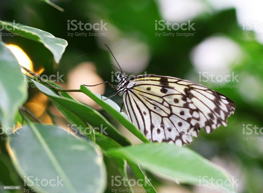 Idea leuconoe butterfly sitting on green leave macro shot stock photo