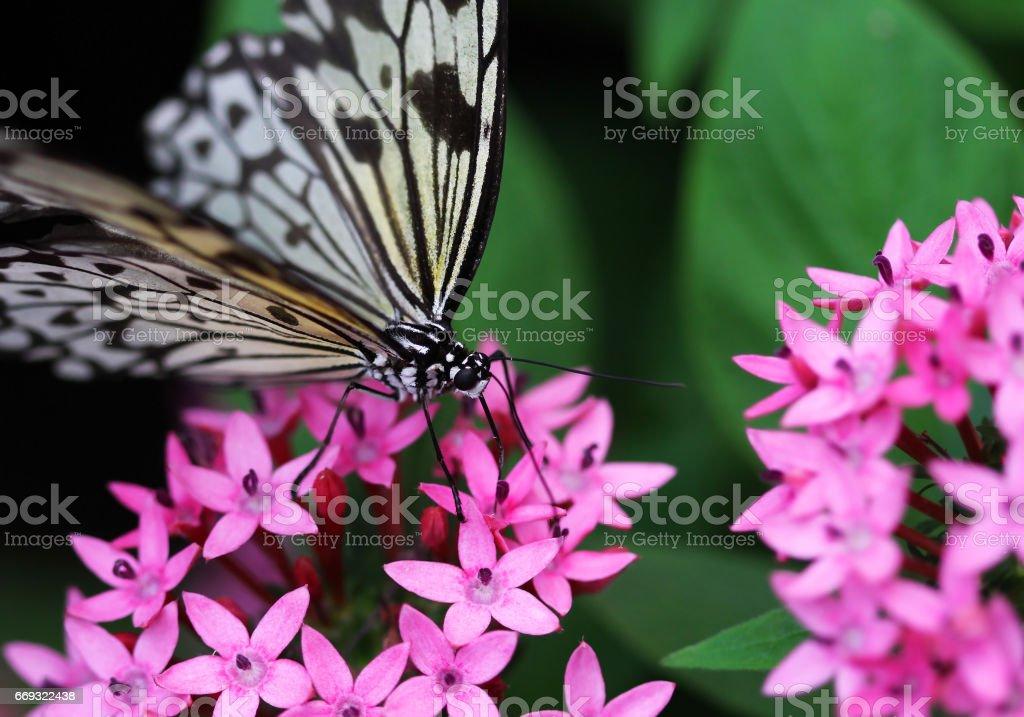 Idea leuconoe butterfly sitting on pink flower macro shot stock photo