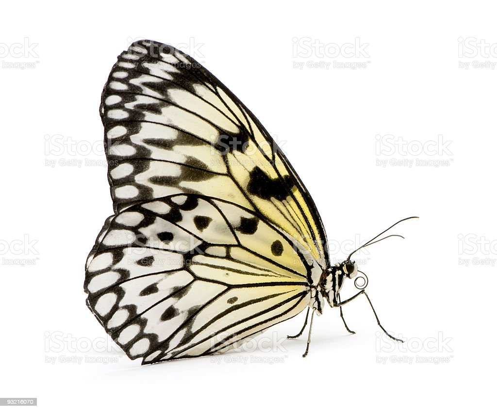 Idea leuconoe butterfly with black and yellow wings stock photo