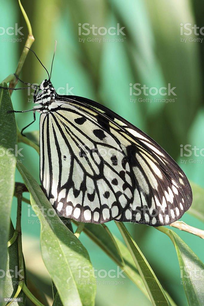 Idea leuconoe (butterfly) stock photo