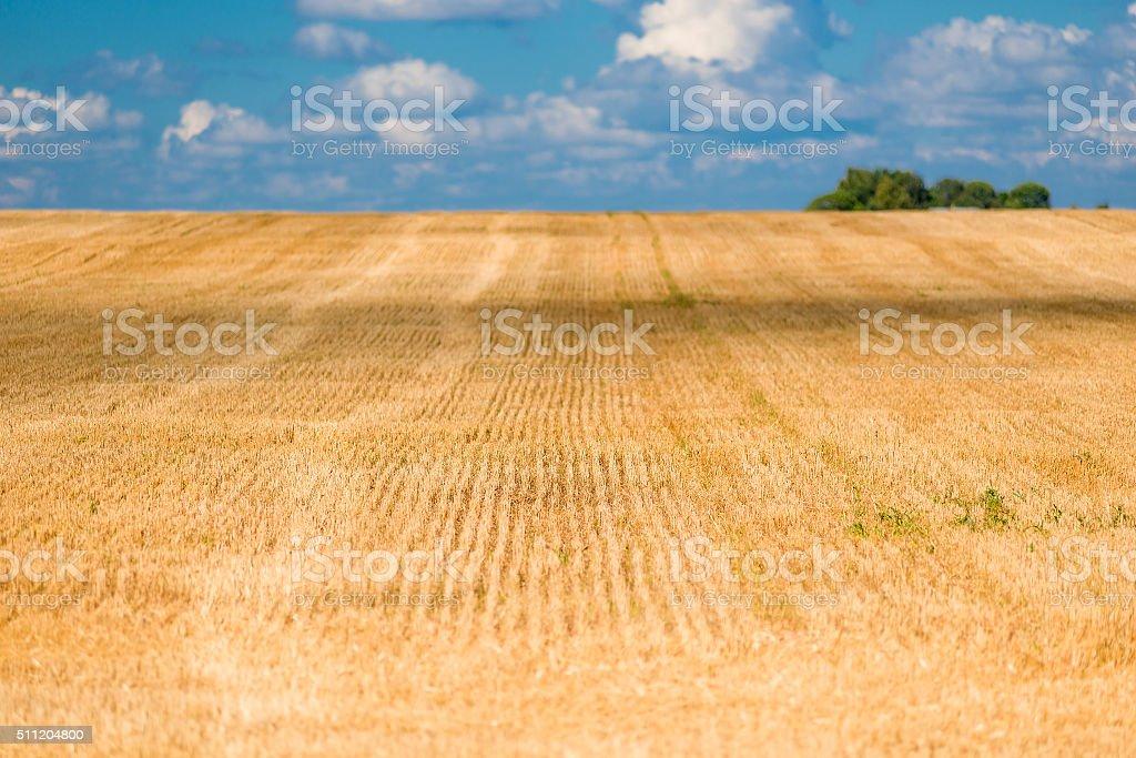 Ideally cut ears of wheat in field stock photo