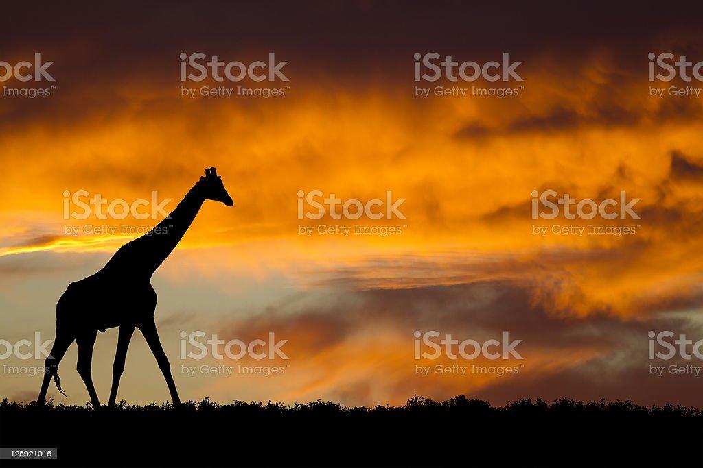 Idyllic african giraffe silhouette royalty-free stock photo