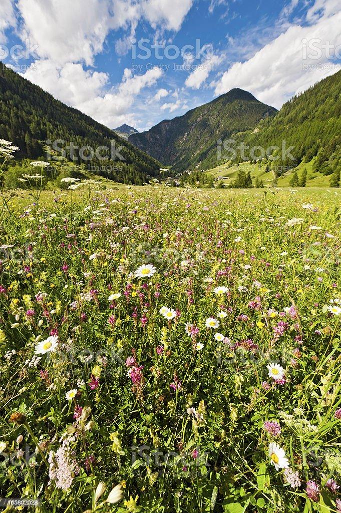 Idyllic Alpine wildflowers summer mountain meadow royalty-free stock photo