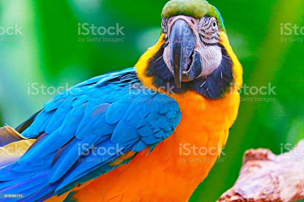 Idyllic Animal Birdwatch safari: Beautiful and curious Blue and Yellow Parrot macaw tropical bird on nature background – Pantanal wetlands and amazon rainforest, Brazil stock photo