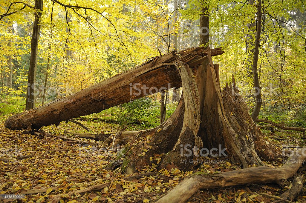 Old broken and splintered tree in an autumn forest stock photo
