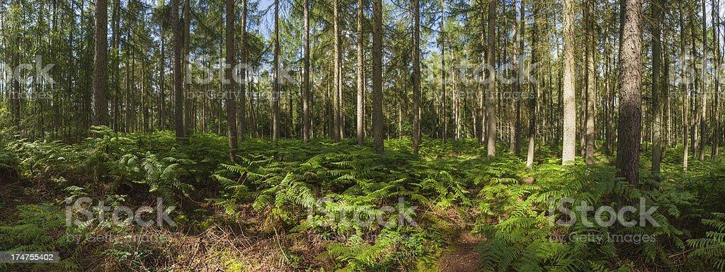 Idyllic fern forest summer sunlight pine panorama royalty-free stock photo