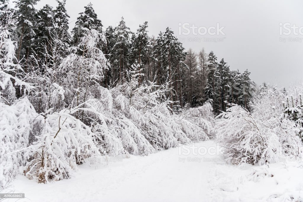 idyllic forest in winter stock photo