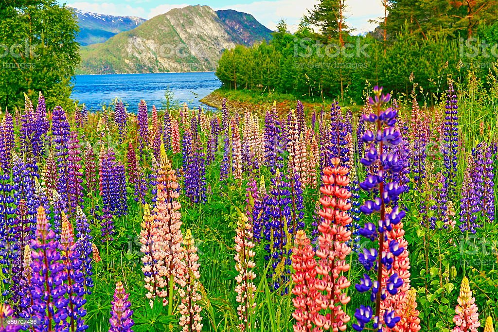 Idyllic lupins pea flower flowerbed pattern, river, mountain landscape stock photo